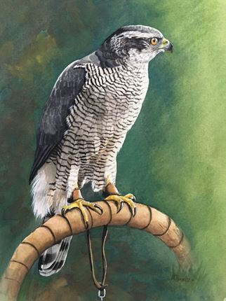 Goshawk on bow II